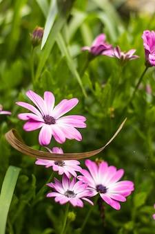 Verticaal schot van mooie roze madeliefjebloemen op een met gras bedekte weide
