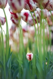 Verticaal schot van mooie tulpenbloemen met één kleine tulp die net uit de grond groeit