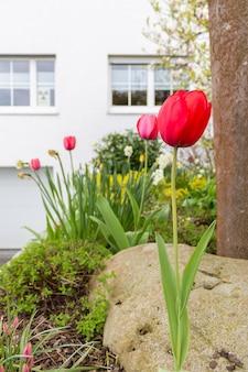 Verticaal schot van rode tulpen voor een gebouw