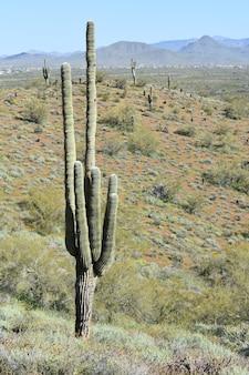 Verticaal schot van savanne met gigantische cactussen overdag