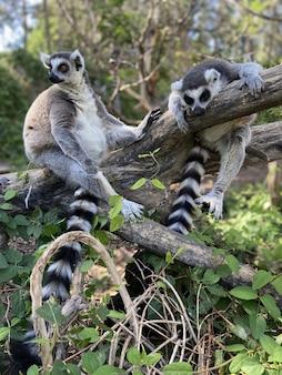 Verticaal schot van schattige ringstaartmaki's die op een boom in een park spelen