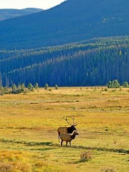 Verticaal schot van twee elanden die op het weiland grazen dat door hoge rotsachtige bergen wordt omringd
