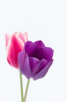 Verticaal schot van twee kleurrijke tulpenbloemen op witte achtergrond met ruimte voor uw tekst