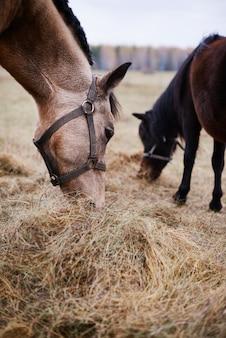 Verticaal schot van twee prachtige gedomesticeerde paarden die droog grasvoer eten in het veld
