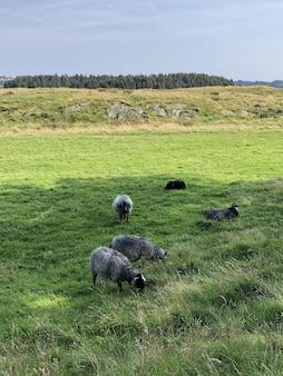 Verticaal schot van verschillende schapen die op het groene veld grazen