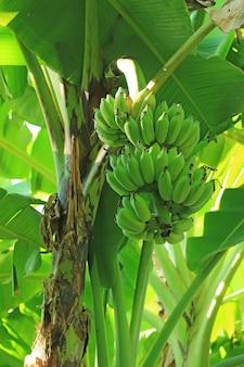 Verticale afbeelding van tropische bananenboom met onrijpe vruchten op het platteland van thailand