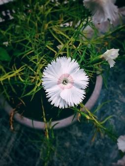 Verticale bovenaanzicht van een witte zoete william-bloem in een bloempot