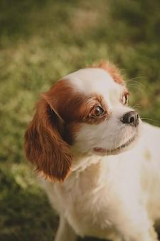 Verticale close-up die van een arrogant puppy van koning charles op vaag is ontsproten