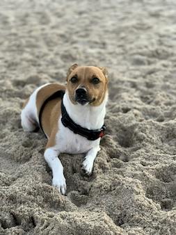 Verticale close-up die van een leuke jack russell is ontsproten die op het zand op het strand ligt