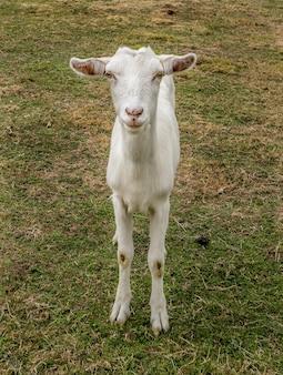 Verticale close-up die van een tamme witte geit is ontsproten die naar de camera staart