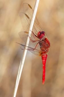 Verticale close-up macro-opname van een rode libel in een natuurlijke omgeving