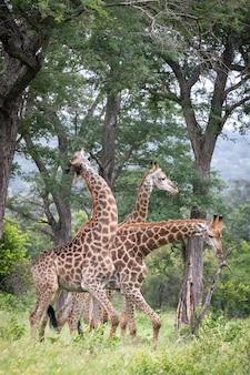 Verticale close-up shot van drie giraffen wandelen in de wildernis en bladeren van de bomen eten