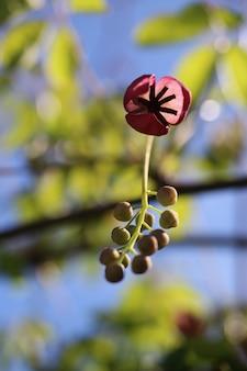 Verticale close-up shot van een akebia-bloem met een onscherpe achtergrond