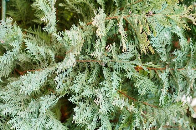 Verticale close-up shot van een groene dennenboom