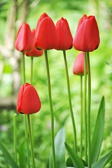 Verticale close-up shot van mooie rode tulpen op een onscherpe achtergrond