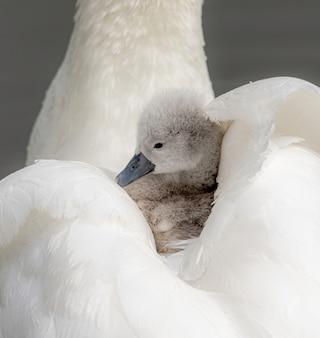 Verticale close-up van een babyzwaan in de veren van haar moeder