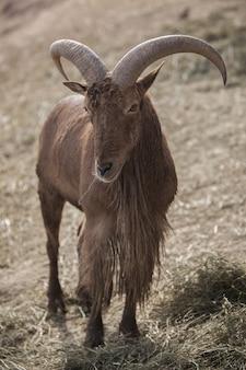 Verticale close-up van een barbarijse schaap met verdord rond gras