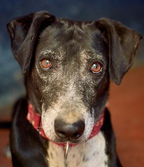 Verticale close-up van een catahoula-hond