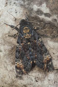 Verticale close-up van een death's-head hawkmoth op een boomschors onder het zonlicht