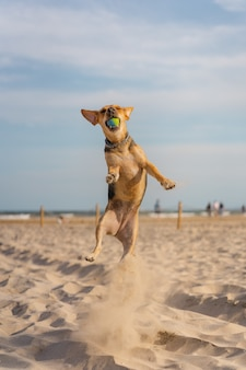 Verticale close-up van een gezelschapshond die een bal vangt terwijl hij op het zand rent