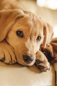 Verticale close-up van een hoofd van een kleine bruine hond die de camer bekijkt