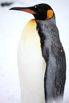Verticale close-up van een koningspinguïn die zich op de grond bevindt die in de sneeuw wordt behandeld