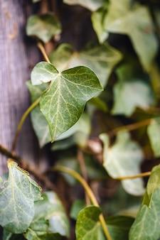 Verticale close-up van klimop bladeren onder het zonlicht