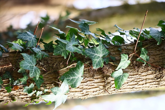 Verticale close-up van klimop bladeren op een boom onder het zonlicht