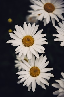 Verticale close-up van prachtige madeliefjebloemen