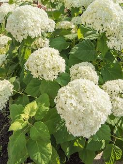 Verticale foto, overvloedige bloemen van een mooie witte paniculaire hortensia, een weelderige struik in de tuin op een zonnige zomerdag