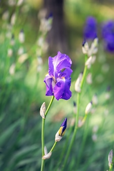 Verticale foto van een mooie knop van paarse irisbloem