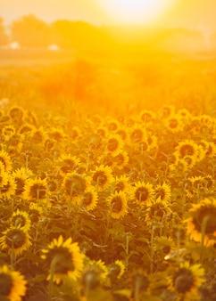Verticale foto van zonnebloemen die zon in ochtendtijd bekijken tijdens zonsopgang.