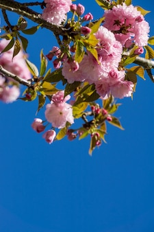 Verticale lage hoek die van bloeiende roze bloemen op boomtakken is ontsproten