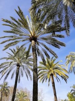Verticale lage hoek die van palmen met de blauwe hemel is ontsproten