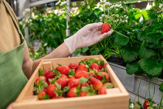 Verticale landarbeider met een doos aardbeien die een andere rijpe bes oppakt