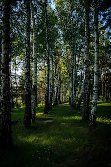 Verticale opname van de hoge bomen in het bos op een zonnige dag in de zomer