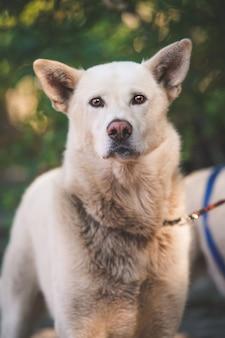 Verticale opname van een binnenlandse koreaanse jindo-hond aan de leiband die de camera bekijkt
