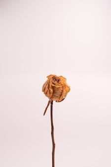 Verticale opname van een droge witte roos zonder bladeren geïsoleerd op een lichtgekleurde achtergrond