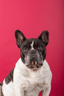 Verticale opname van een franse bulldog op rood kijkend naar de camera
