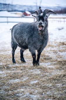 Verticale opname van een geit met open mond in het noorden van zweden
