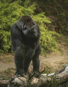 Verticale opname van een gigantische gorilla die op handen en voeten in een bos staat