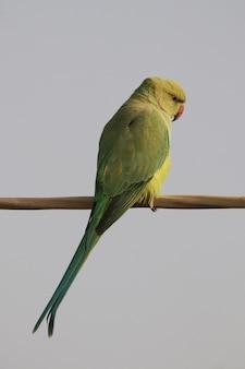 Verticale opname van een groene papegaai op een houten paal