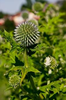 Verticale opname van een groene ronde plant genaamd echinops