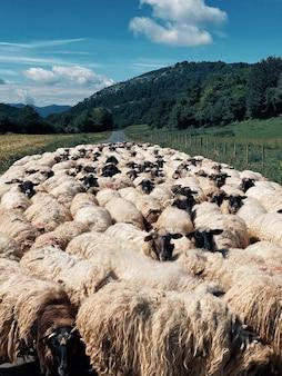 Verticale opname van een kudde schapen midden op de weg, omgeven door groene natuur