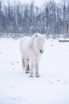Verticale opname van een mooi wit paard in een besneeuwd veld in het noorden van zweden