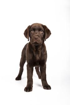 Verticale opname van een mooie chocolade labrador-puppy op een witte muur