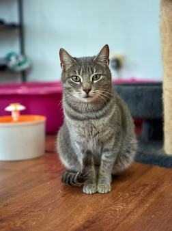 Verticale opname van een mooie grijze kat met groene ogen op de vloer
