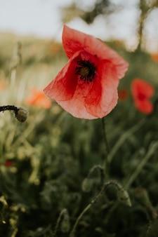 Verticale opname van een mooie rode papaver in een veld bij daglicht