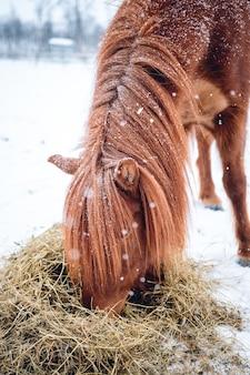 Verticale opname van een paard met lang haar dat hooi eet in het noorden van zweden