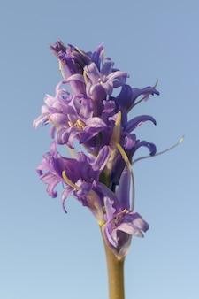 Verticale opname van een paarse bloem genaamd blue tango onder een blauwe hemel